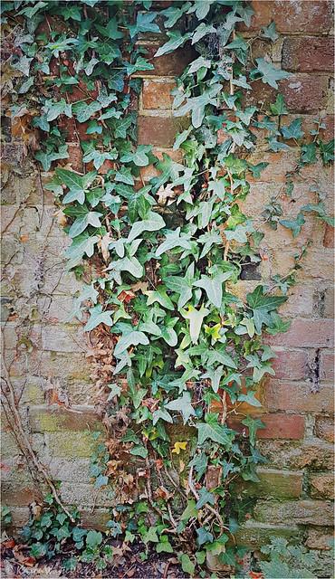 trailing ivy