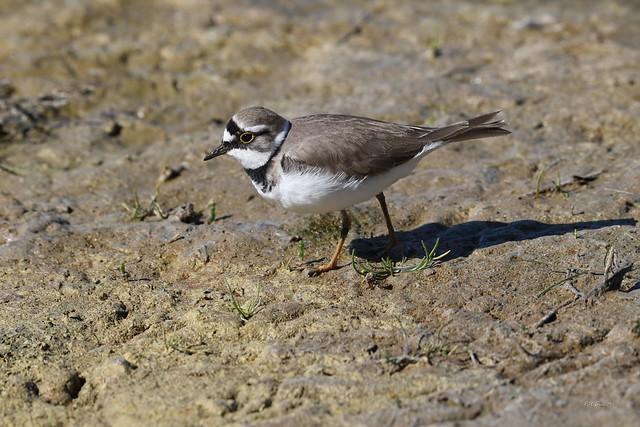 Petit Gravelot ou Pluvier petit-gravelot Charadrius dubius - Little Ringed Plover