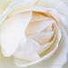 Pale Rose (I), 1.15.18