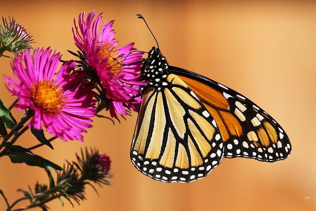 Monarque / Monarch
