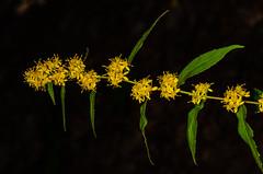 Wreath Goldenrod Flower