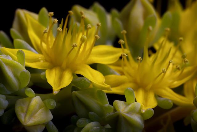 Sedum rubrotinctun Jelly Bean yellow Succulent Flower 2021-09-22 (R5_99A1488)