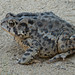 A big ole plump grumpy looking toad.