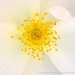 White Rose with Pistil and Stamen (IIa), 5.4.18