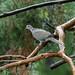 dove_on_branch_rainy_day-20210926-100
