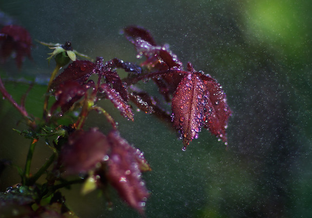 STORMY ROSE LEAVES