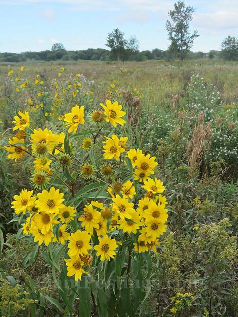 prairie blooms 1