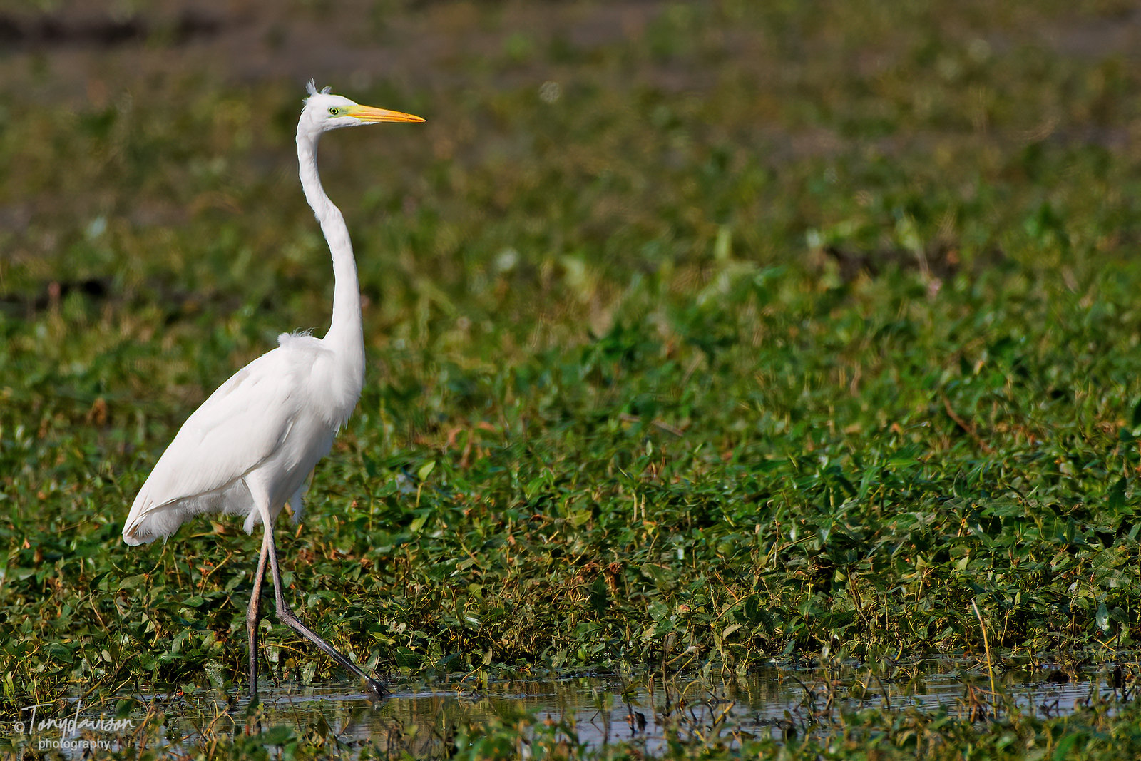 Great White Egret _43A9717
