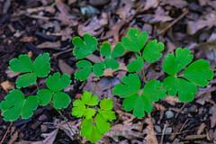 American Columbine Leaf