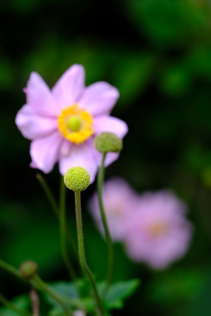 Anemone - Macro