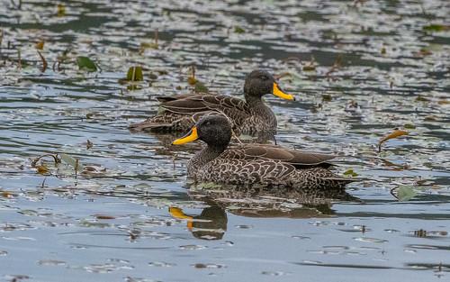 Yellow-billed duck - Anas un dulata - Geelsnaveleend
