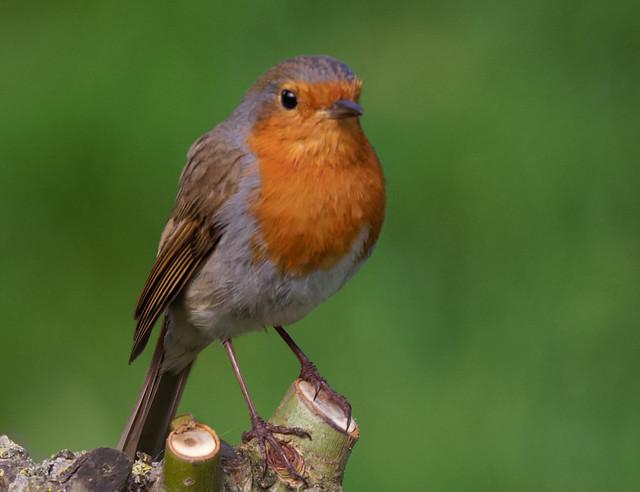 Erithacus rubecula (rougegorge familier - roodborst - robin, european robin - Rotkehlchen)