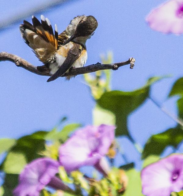 Hummingbird Sunning