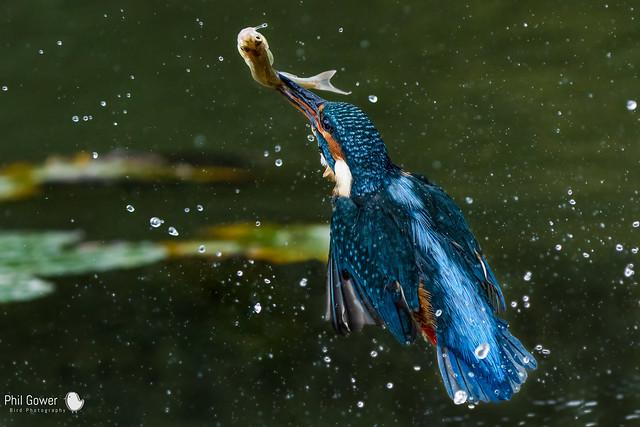 Kingfisher (URN: 1336)