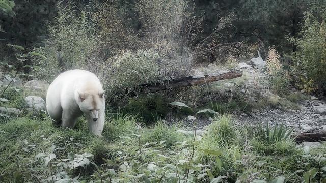 269/365 Clover the Kermode Bear