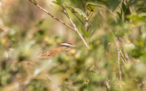Black-crowned chagra - Tchagra senegalus - Zwartkruinsjagra