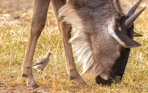 Wattled starling - Creatophora cinerea - Lelspreeuw