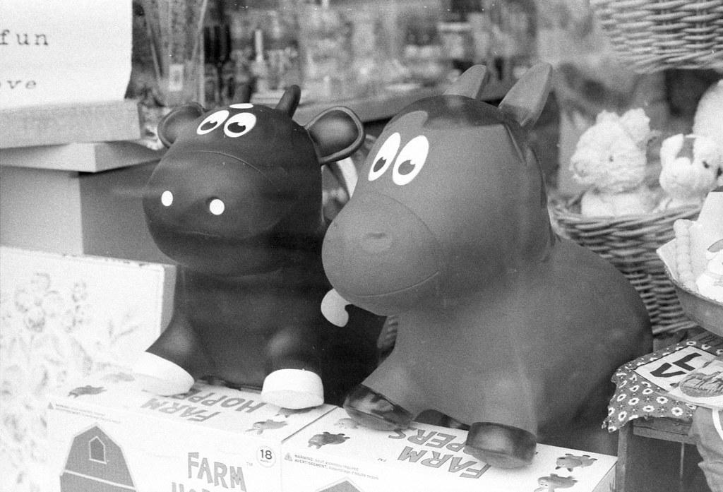 Cow Siblings in the Window