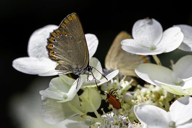 Laeosopis roboris en Hortensia