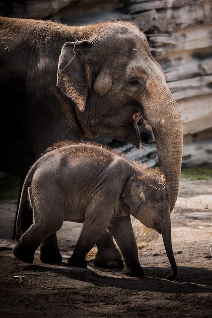 Young elephant with mom at Wildlands