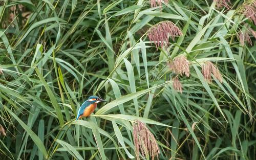 Kingfisher - Alcedo attis - IJsvogel