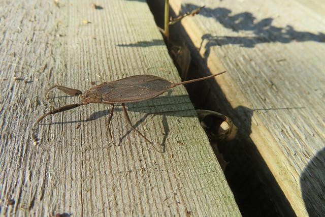 Water scorpion / Nepa cinerea Linnaeus / Vesihark