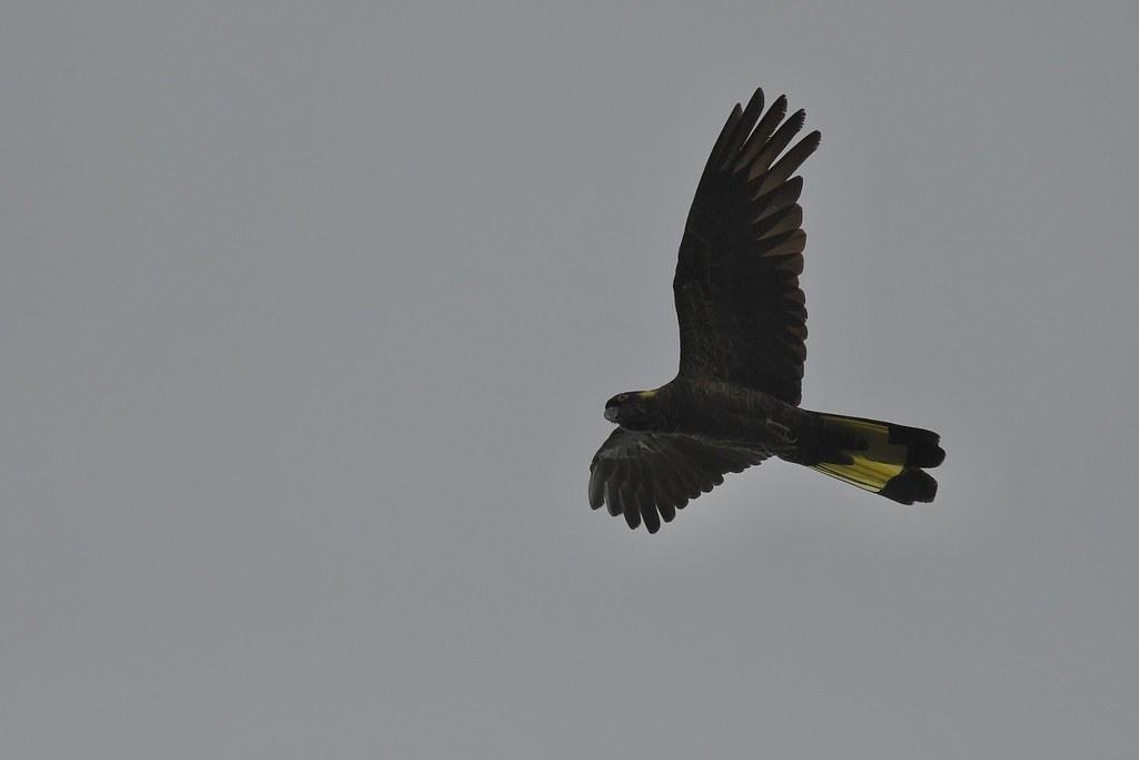 Yellow-talied Black-Cockatoo
