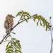 White-winged widowbird - Euplectes albanotatus - Spiegelwidavink ssp eques