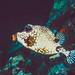 Bonaire: Perlen Kofferfisch, Lactophrys triqueter
