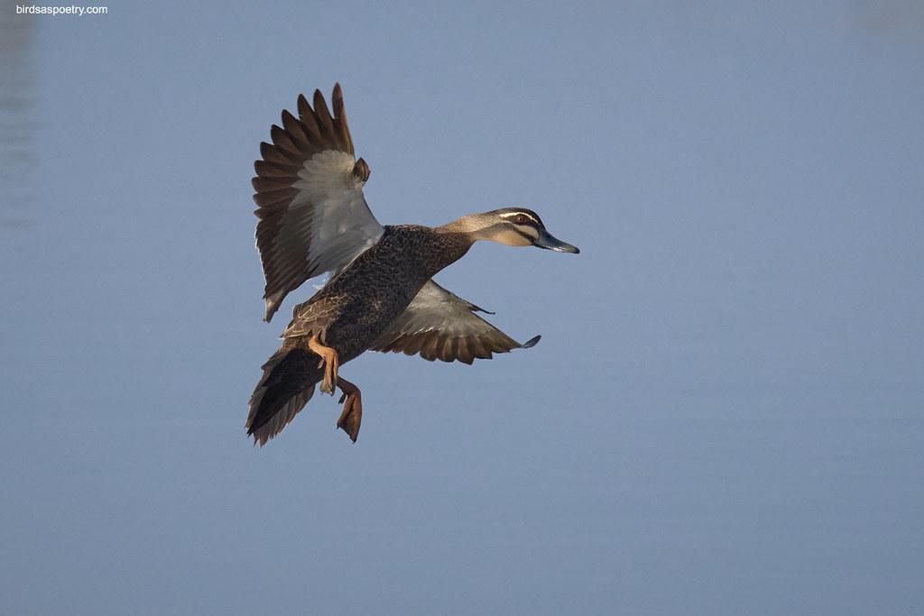 Pacific Black Duck: GT Stripe Duck Drops In