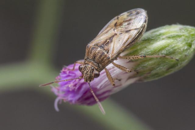 _Z2A5069 Nysius sp. seed bug