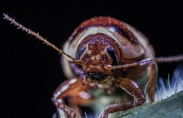 Insect, Laowa 25mm f2,8 2,5-5x Macro Lens