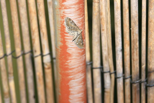 A Moth on a Bamboo Fence