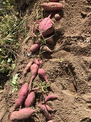 마당밭 고구마 수확