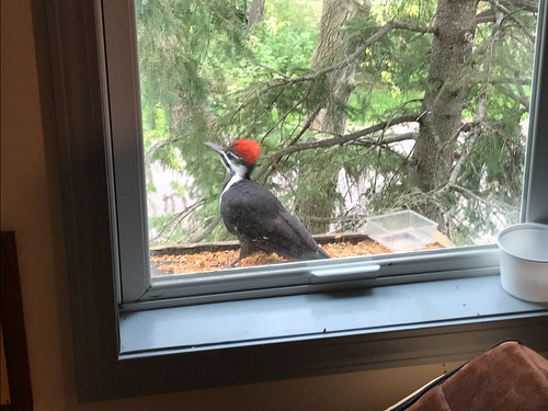 Crappy pictures of a Pileated at my window feeder