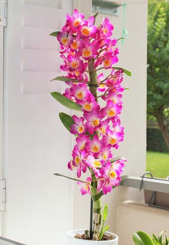 Dendrobium nobile 'Starclass Lilac' 51523770454_36c4261467