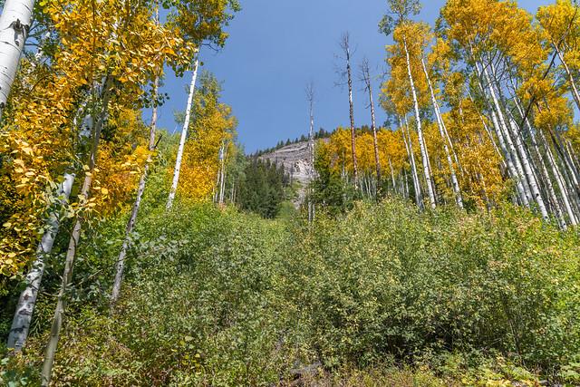 Colorado Aspen changing colors