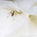 Bug on a White Rose, 5.3.18