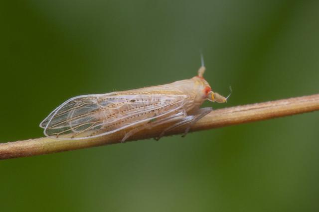 _Z2A5094 planthopper