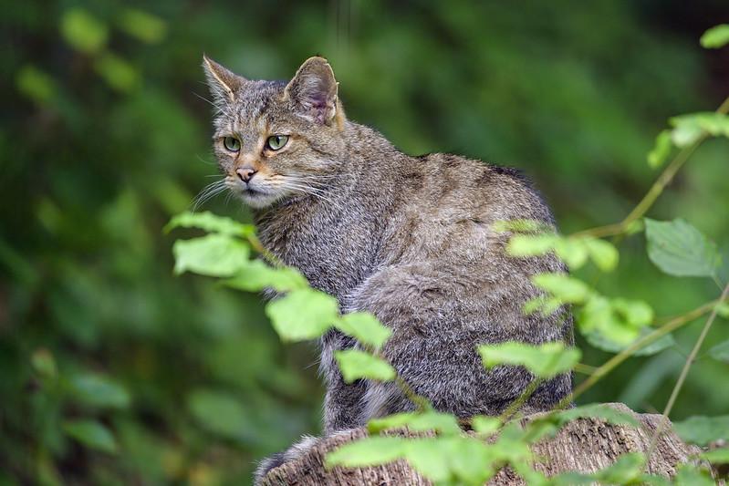 Female wildcat on the log