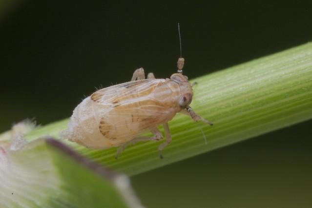 _Z2A5074 planthopper nymph