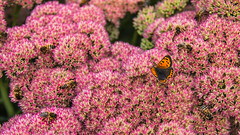 Small Copper Surrounded