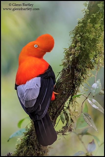Andean Cock of the Rock (Rupicola peruviana)
