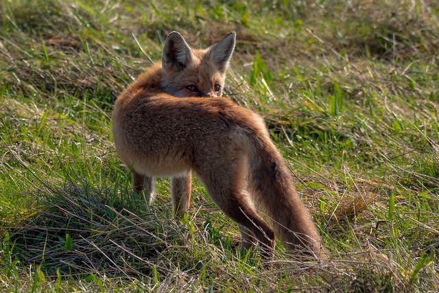 Rotfuchs (Vulpes vulpes) bei der Mäusejagd
