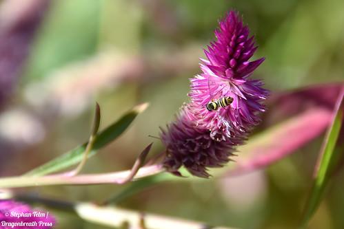 DSC_0452_Hoverfly on pink flower