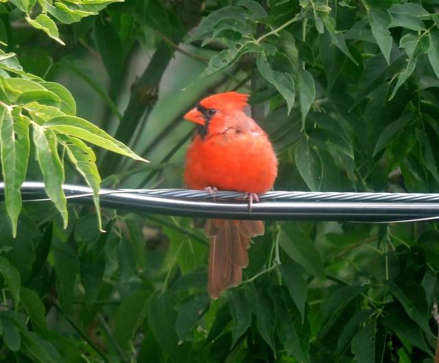 Cardinal ... 13 Septembre 2021... Cardinal...13 September 2021  ... DSCN61614