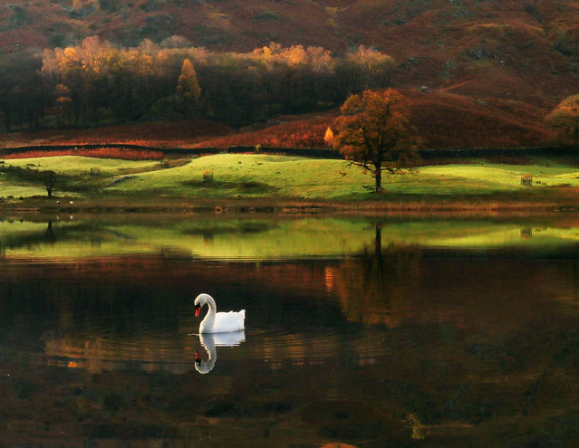 A Lonely Swan at Rydal Water