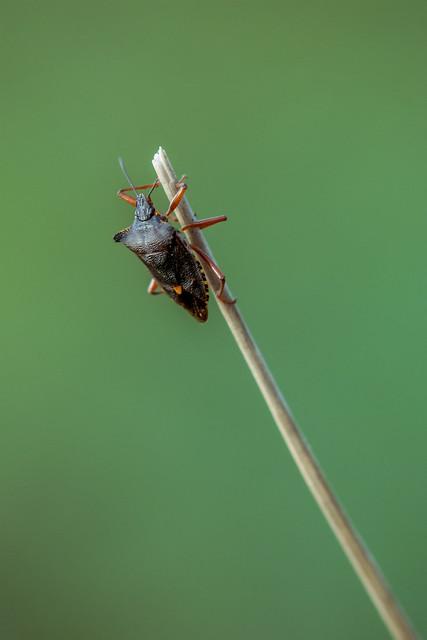 Insekt: Wanze