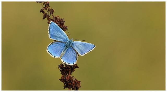 Adonis Blue - Polyommatus bellargus