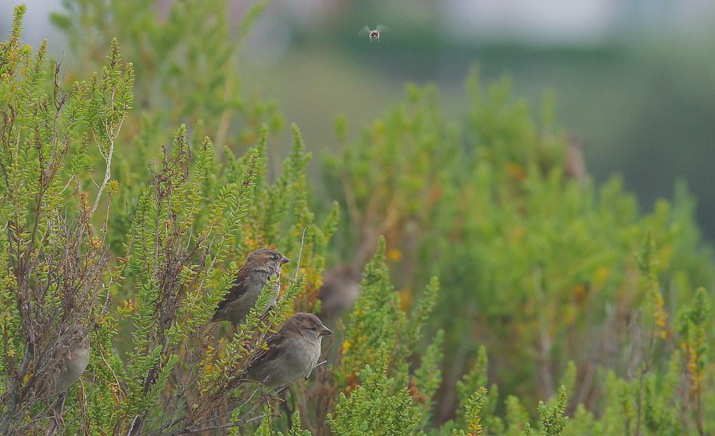 Hedge Sparrows @ West Mersea Essex..